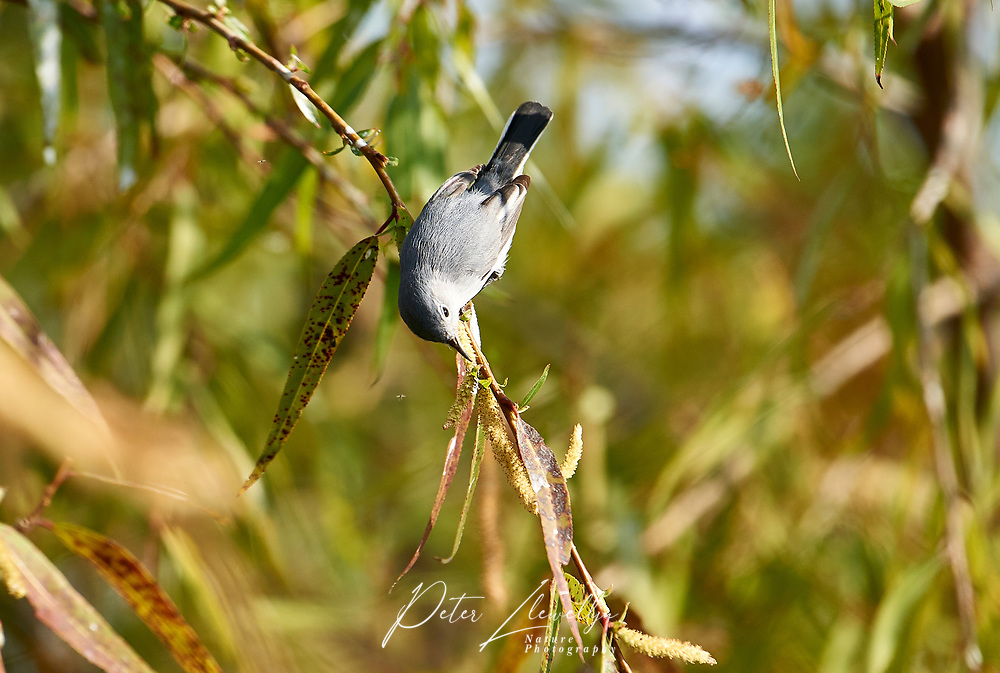 Blue-gray gnatcatcher (Polioptila caerulea) perched in a tree - Ajijic, Jalisco, Mexico