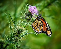 Monarch Butterfly Feasting on a Thistle Bloom at the Sourland Mountain Preserve. Summer Nature in New Jersey. Image taken with a Nikon D3s camera and 70-200 mm f/2.8 lens with a 2.0 TC-E teleconverter (ISO 200, 400 mm, f/5.6, 1/400 sec).