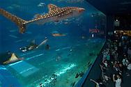 JPN, Japan: Okinawa Churaumi Aquarium, Walhai (Rhincodon typus), der groesste Fisch der Welt schwimmt hinter der groessten Aquarienscheibe der Welt (22,5m lang, 8,2 m hoch, 60cm dicke Acrylscheibe), die Besucherattraktion, Ocean Expa Park, Okinawa, Okinawa | JPN, Japan: Okinawa Churaumi Aquarium, Whale Shark (Rhincodon typus), the largest fish of the world swimming behind the world-wide largest aquarium pane (22,5 m long, 8,2 m high, 0,6 m thick acrylic pane), visitor attraction, Ocean Expo Park, Okinawa, Okinawa |