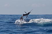 Jumping Pacific Sail Fish.