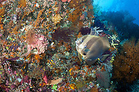 A Spadefish (Batfish) pauses to get cleaned by two wrasses along a colorful reef wall<br /> <br /> Shot in Indonesia