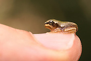 European tree frog, Hyla arborea, On a thumb Israel