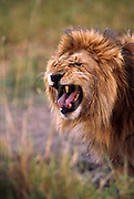 Male lion growling
