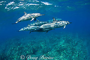 Hawaiian spinner dolphin or Gray's spinner dolphin or long-snouted spinner dolphins ( Stenella longirostris longirostris ) Kaupulehu, Kona Coast, Big Island, Hawaii ( Central Pacific Ocean )