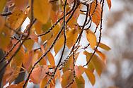 Autumn Cherry Leaves