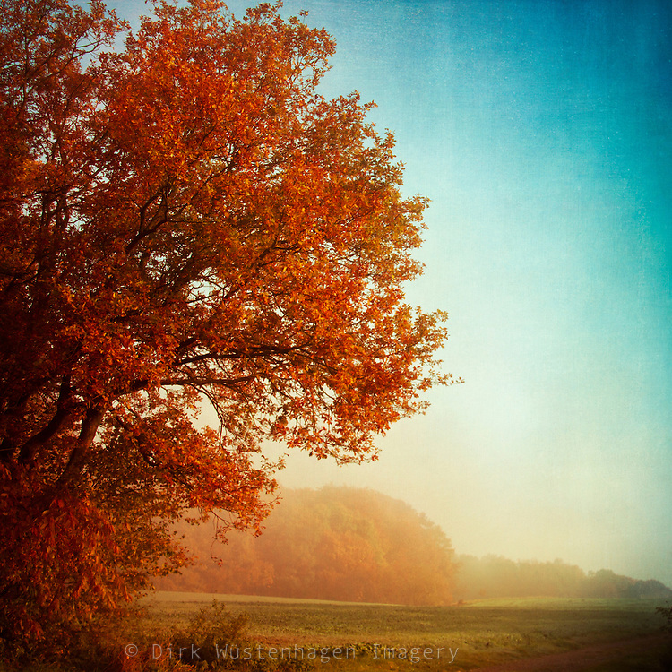 Maple tree in autumnal morning light. Textured photography.<br /> Prints & more:<br /> http://society6.com/DirkWuestenhagenImagery/Fall-symphony_Print