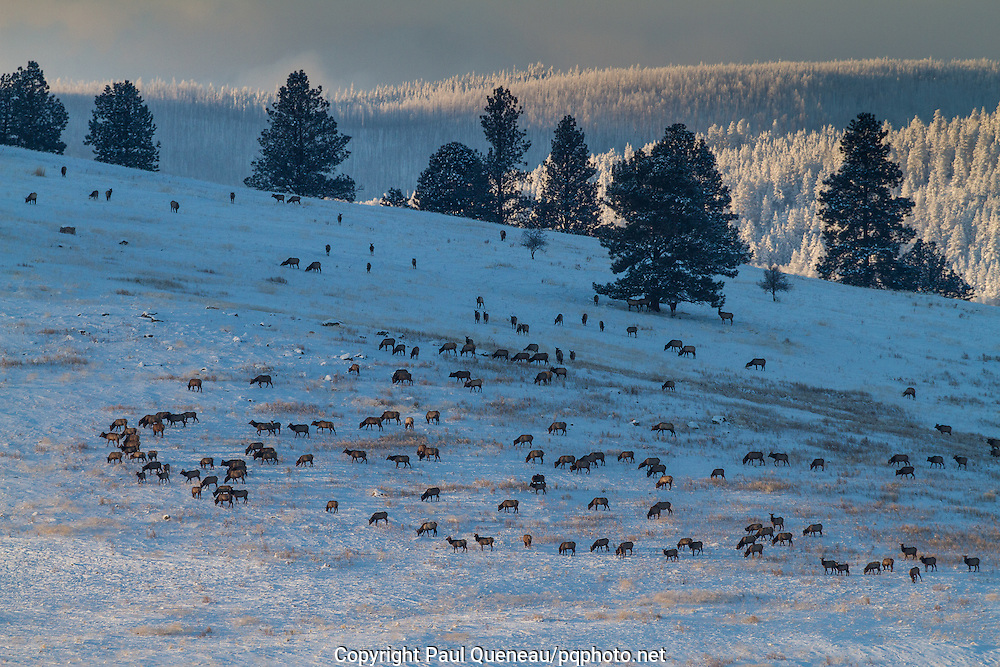 Having migrated down out of the Rattlesnake Wilderness north of Missoula onto winter range near Grant Creek, a stalwart elk herd follows last light across a frigid January afternoon.