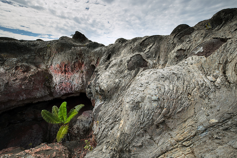 PALM TREE GROWING IN COLAPSED LAVA TUBE, MAUNA ULU RIFT AREA, HAWAII VOLCANOES NATIONAL PARK, HAWAII