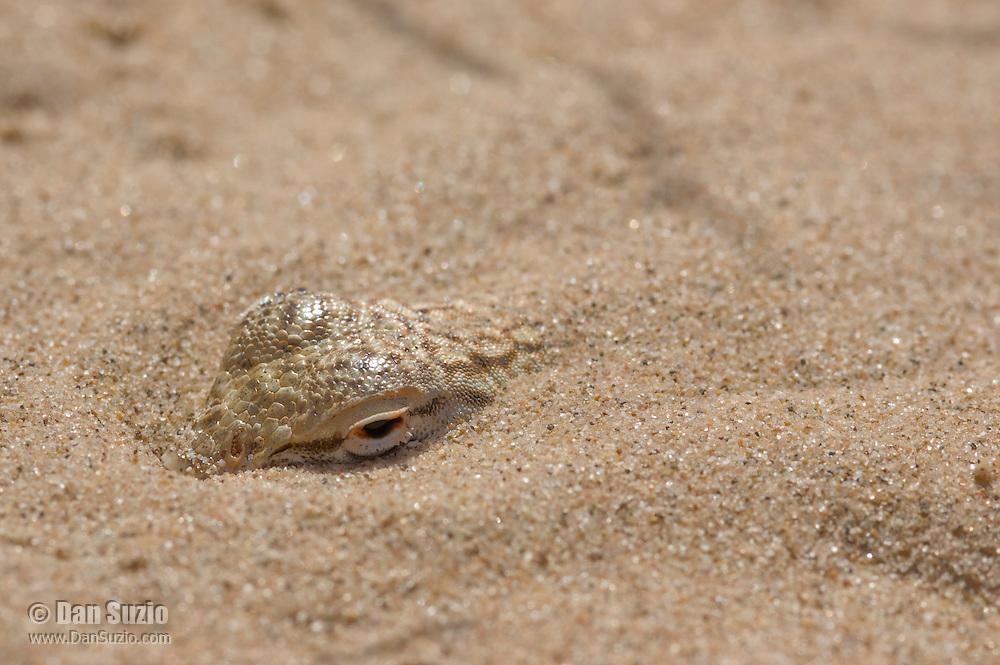 Colorado Desert fringe-toed lizard, Uma notata, buried in sand.  Algodones dunes, Imperial County, California
