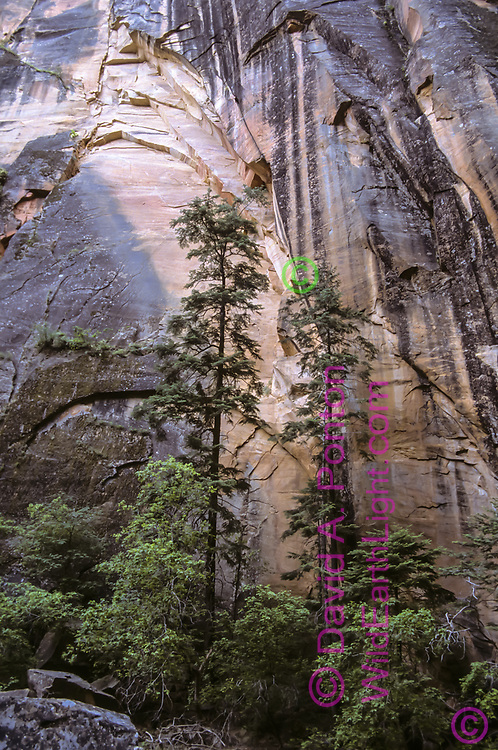 Streaks of desert varnish reach downward as Douglas fir trees reach upward on cliff in the Zion Narrows, © David A. Ponton