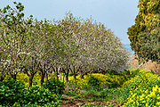 Almond blossoms (Prunus dulcis) Photographed in Israel in March. This tree flowers before it produces leaves