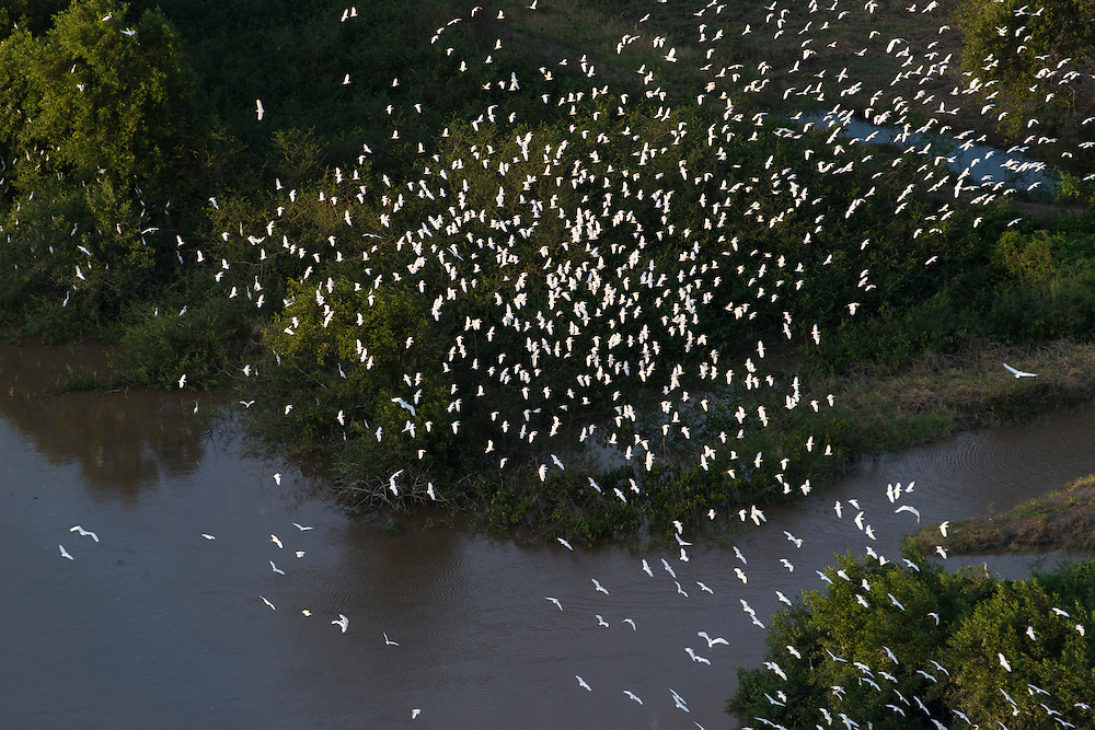 Mahaica River & Egrets<br /> East of Georgetown<br /> GUYANA<br /> South America