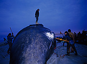 Barrow villagers making initial cuts in Bowhead Whale pulled ashore at Barrow, Alaska.