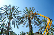 Israel, Jordan Valley, Kibbutz Ashdot Yaacov, Hydraulic platform for picking dates