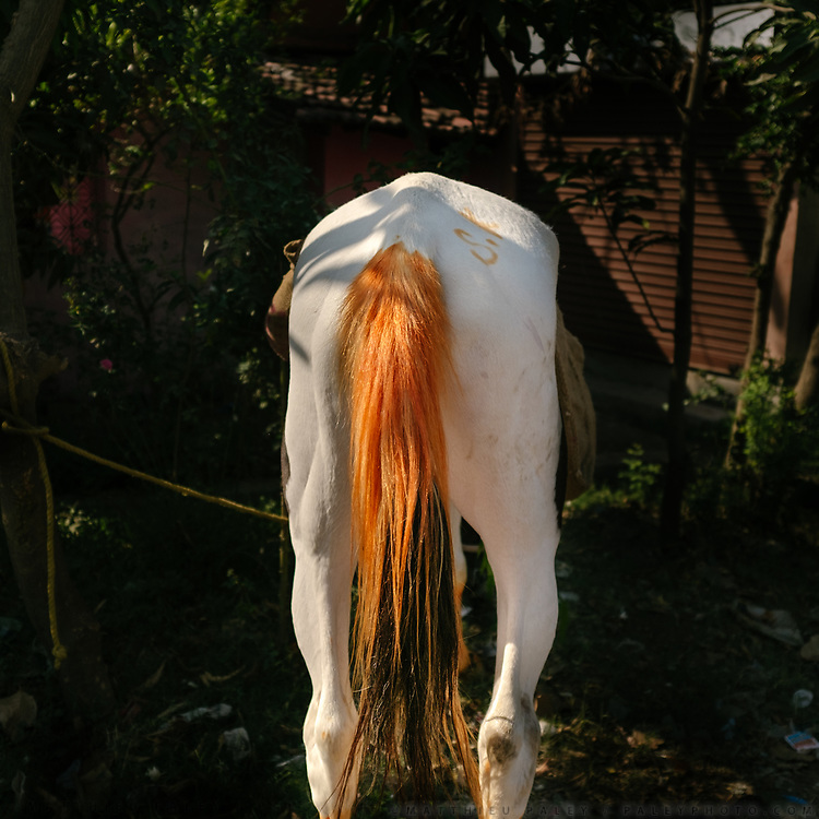 The orange tail of a horse dyed with Henna.