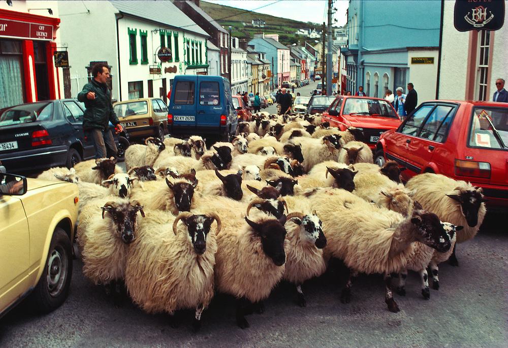 A farmer herds his sheep down the main street of Dingle, Ireland.