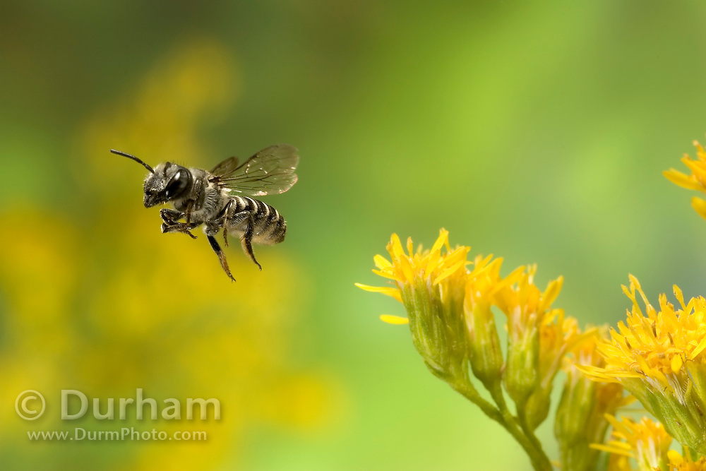 A tiny leafcutter bee (Genus: Megachile) departs a goldenrod flower (Solidago sp.) after collecting nectar and pollen.