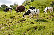 Herd of cattle grazing on chalk grassland Heddington, Wiltshire, England