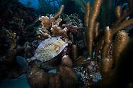 HOney comb cow fish in Bonaire reef