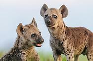 Hyänen im Liuwa Plain Nationalpark in West-Sambia.