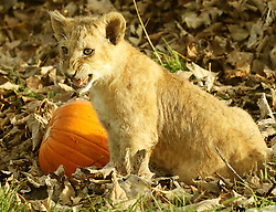 A lion cub plays with a pumpkin at Blair Drummond Safari Park near Stirling, as keepers placed the treats in the enclosure ahead of the park's Halloween weekend.