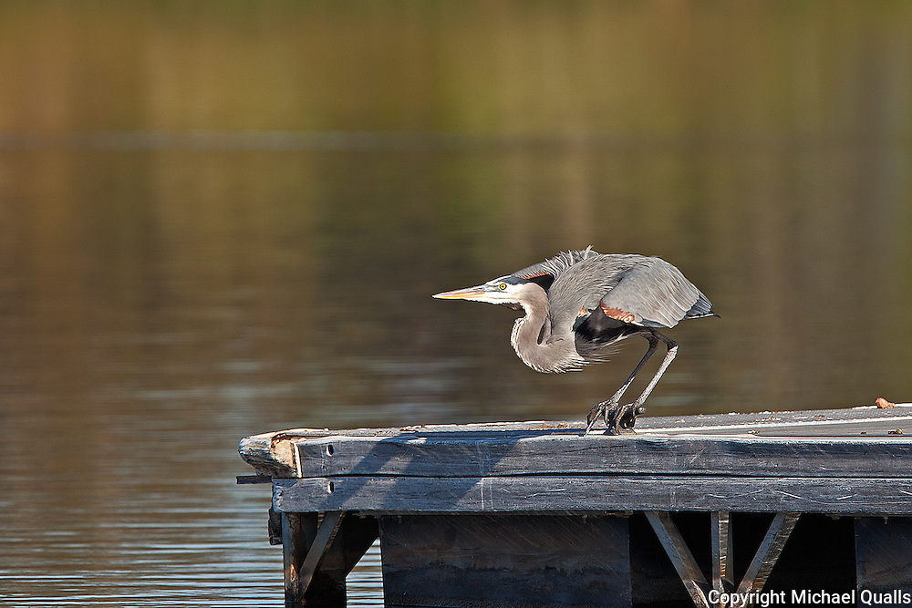Great Blue Heron after sunning on the dock.  The takeoff!