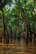 The flooded forest south of Kampong Phluk, Cambodia.