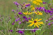63899-05411 Sweet Black-eyed Susan (Rudbeckia subtomentosa) and Missouri Ironweed (Vernonia missurica) Marion Co., IL