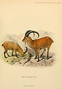West Caucasian tur (Capra caucasica) is a mountain-dwelling goat-antelope native to the western half of the Caucasus Mountains range, in Georgia and European Russia. colour illustration From the book ' Wild oxen, sheep & goats of all lands, living and extinct ' by Richard Lydekker (1849-1915) Published in 1898 by Rowland Ward, London