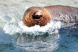 14 May 2013:  Walrus plays in the water. This animal is a captive animal and well cared for by a zoo.