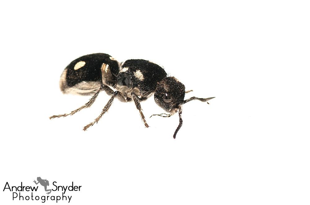 Spherical eyed velvet ant (Hoplomutilla sp.) - Kusad Mountain, Guyana.