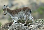 Walia Ibex, Capra walie, young, on steep mountain slope, Simien Mountains National Park, Ethiopia, Endemic, critically endangered, rare, IUCN Red List 2004