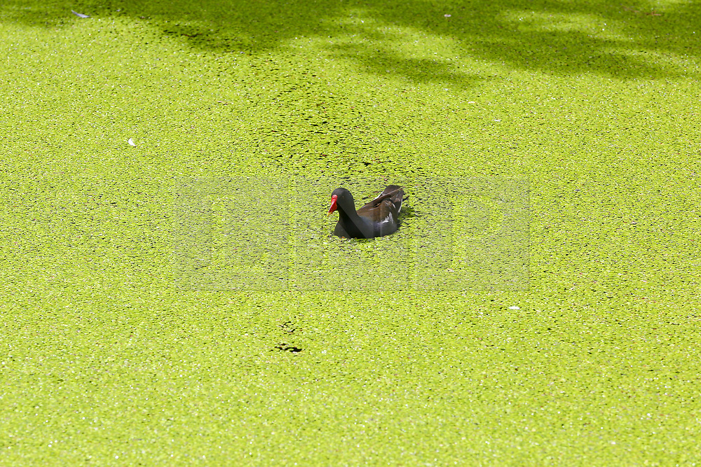 © Licensed to London News Pictures. 17/07/2019. London, UK. A duck is seen in the Regent's Canal which is covered in Algae, caused by recent warm weather in the capital. According to the Met Office, rain is forecast across the country during the next few days. Photo credit: Dinendra Haria/LNP