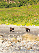 A pair of Alaska coastal brown bears run down the shore of Chinitna Bay, Lake Clark National Park, Alaska.