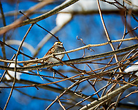 White-throated Sparrow. Image taken with a Nikon D300 camera and 18-200 mm VR lens (ISO 220, 200 mm, f/5.6, 1/800 sec).