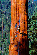 Genevieve Summers climbs a giant redwood near Springville, California.