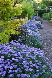 Border of asters with Aster x frikartii 'Jungfrau' in the foreground at Old Court Nurseries, Colwall