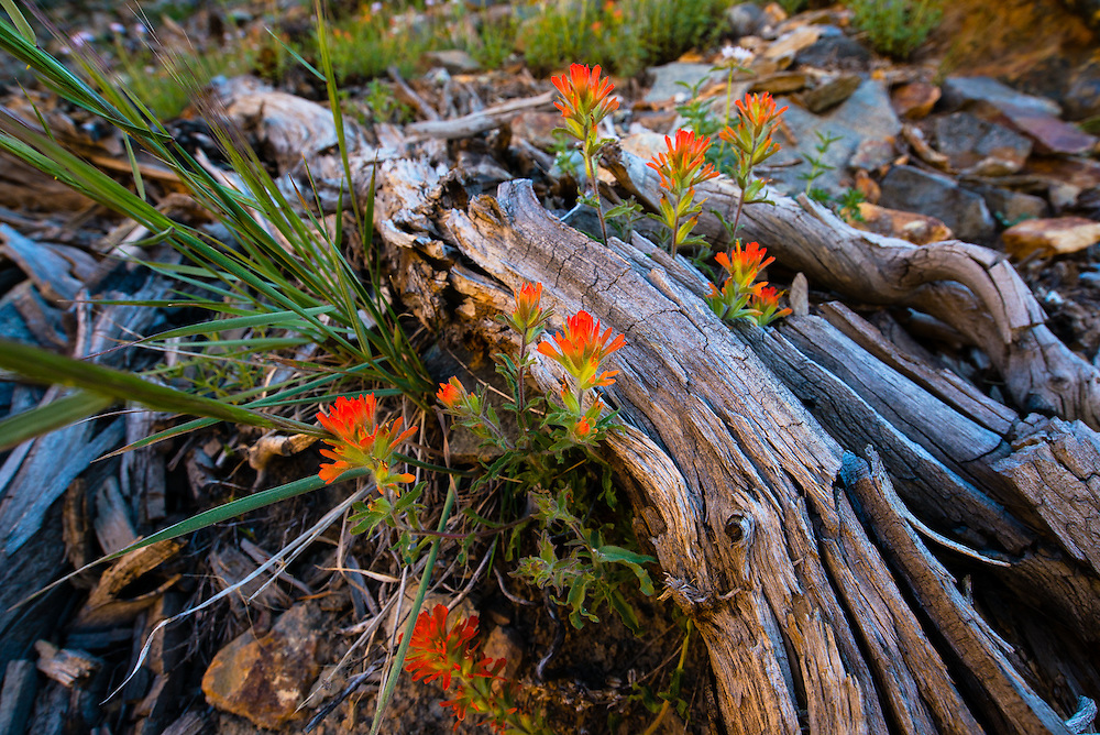The early morning sun lit up the streambank, bouncing light onto the opposite side of the creek, highlighting  this bunch of paintbrush.