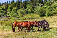 horses herd in Dabadzveli mountain landscape near Borjomi  landmark of Samtskhe Javakheti region Georgia eastern Europe