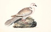 The Barbary dove, ringed turtle dove, ringneck dove, ring-necked turtle dove, or ring dove (Streptopelia risoria) is a domestic member of the dove family (Columbidae). 18th century watercolor painting by Elizabeth Gwillim. Lady Elizabeth Symonds Gwillim (21 April 1763 – 21 December 1807) was an artist married to Sir Henry Gwillim, Puisne Judge at the Madras high court until 1808. Lady Gwillim painted a series of about 200 watercolours of Indian birds. Produced about 20 years before John James Audubon, her work has been acclaimed for its accuracy and natural postures as they were drawn from observations of the birds in life. She also painted fishes and flowers. McGill University Library and Archives