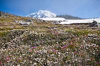 The top of Mount Rainier peaking up above Spray Park in Mount Ranier National Park, Washington, USA.