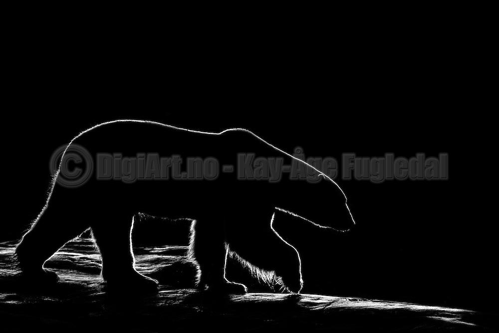 Backlit polar bear | Isbjørn i motlys.