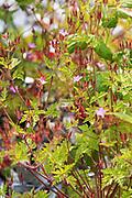 Herb-robert (Geranium robertianum) blooming among the rocks on the shore of Isle au Haut, Maine, USA.