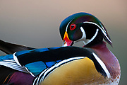 A male wood duck (Aix sponsa), also known as a drake, preens himself along a lake in King County, Washington.