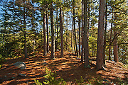 Pine tree stand at Crow Lake<br /> Near Nestor Falls<br /> Ontario<br /> Canada