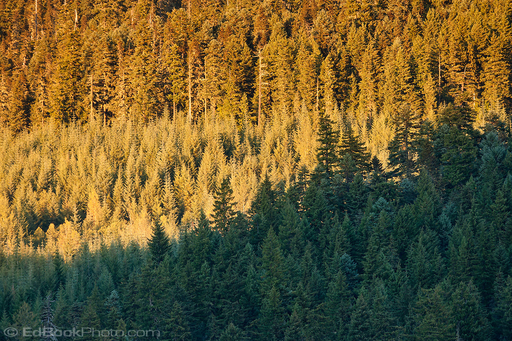 evening light on a Coniferous forest of Noble Fir and silver Fir, in the Gifford Pinchot National Forest near Mt Adams, Washington state, USA