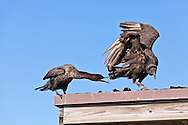 A Double-crested Cormorant (Phalacrocorax auritus) chases away an American Black Vulture (Coragyps atratus) on the Anhinga Trail in Everglades National Park, Florida. WATERMARKS WILL NOT APPEAR ON PRINTS OR LICENSED IMAGES.