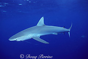 Galapagos shark, Carcharhinus galapagensis, with copepod parasites and fishing line leader, off Haleiwa, North Shore, Oahu, Hawaii, USA ( Central Pacific Ocean )