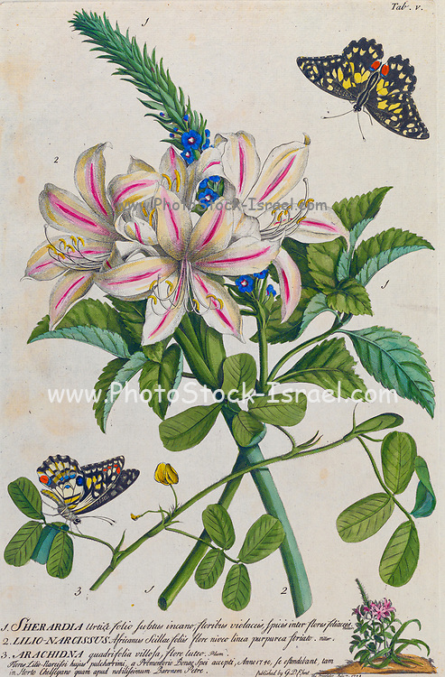 Pink and white Lily Engraving, hand-colored print of plants and butterflies from Plantae et papiliones rariores (rare plants and butterflies) by Ehret, Georg Dionysius, 1708-1770 Published in London in 1748