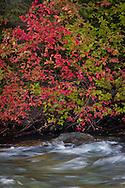 Autumn Red Osier Dogwood (Cornus sericea) along the Bumping River, Cascade Range, Washington, USA
